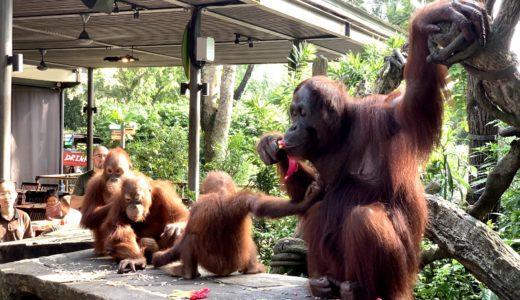 シンガポール動物園のオラウータン朝食レビュー|お得な割引チケットも♪